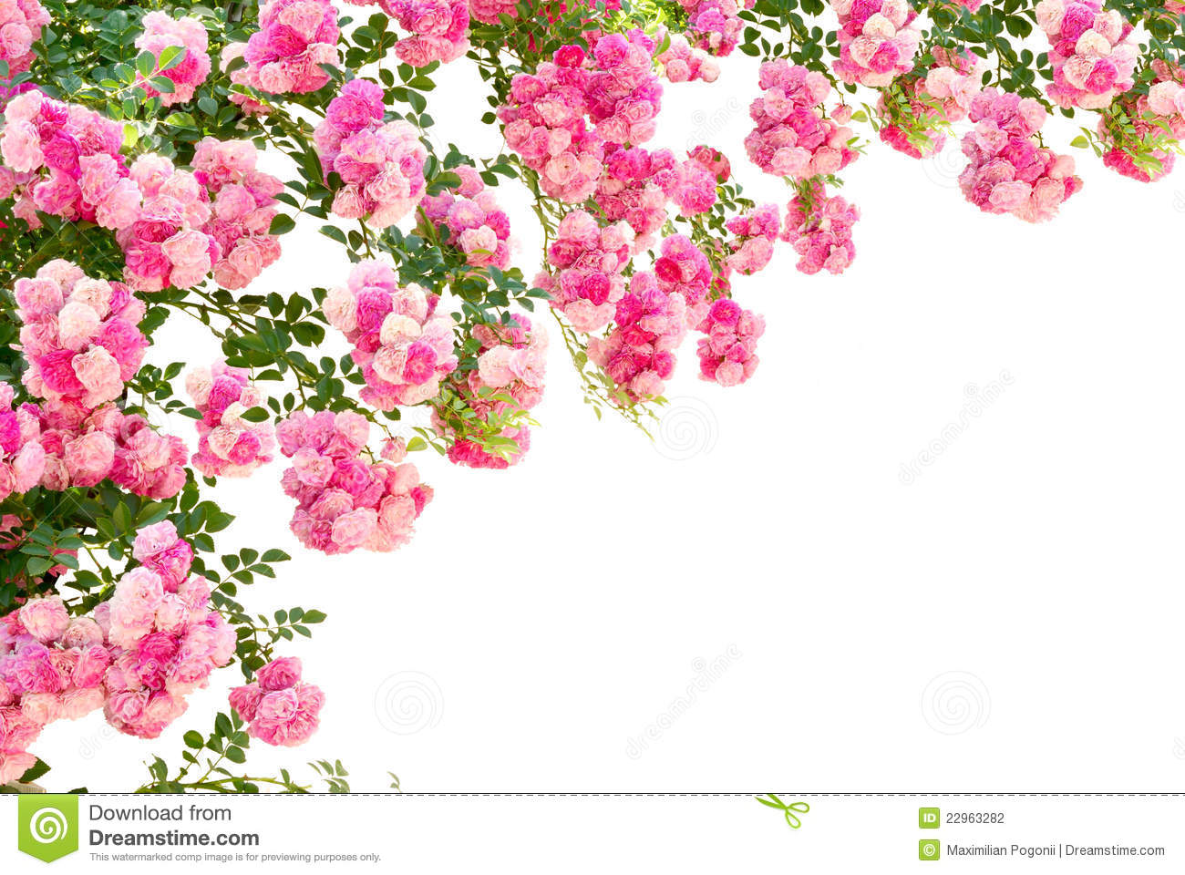 Rose flowers isolated on white background stock photography image 22963282