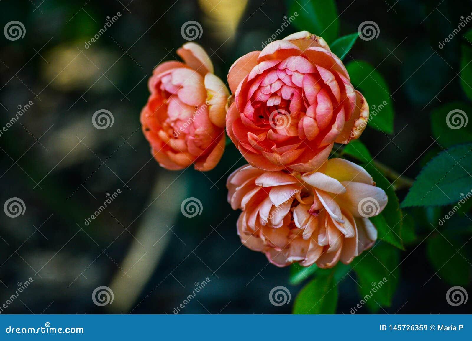 Rose flowers outdoors nature landscape background calm and relaxing park garden natural closeup macro portrait