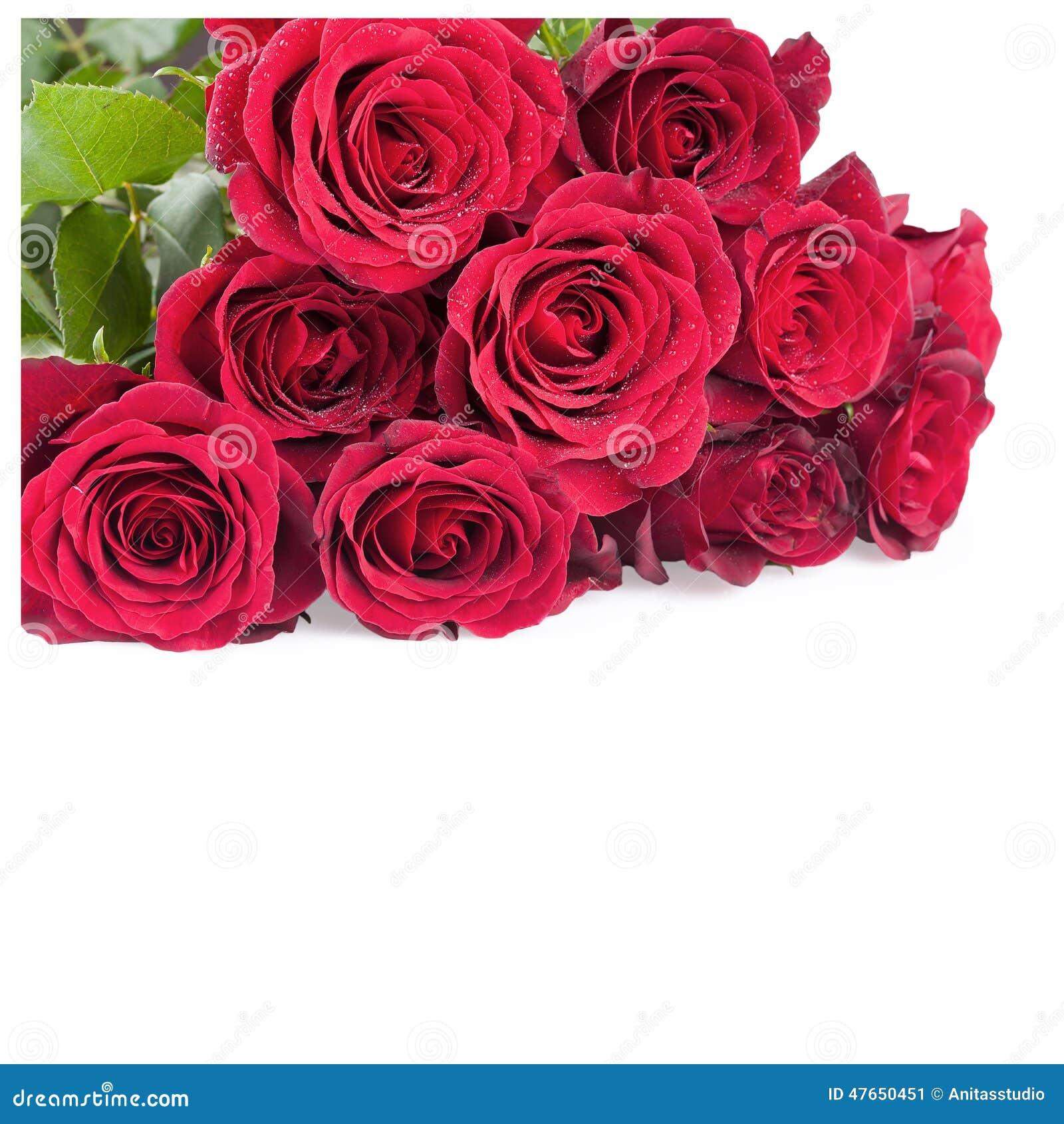 Rose Flowers vermelha sobre o branco