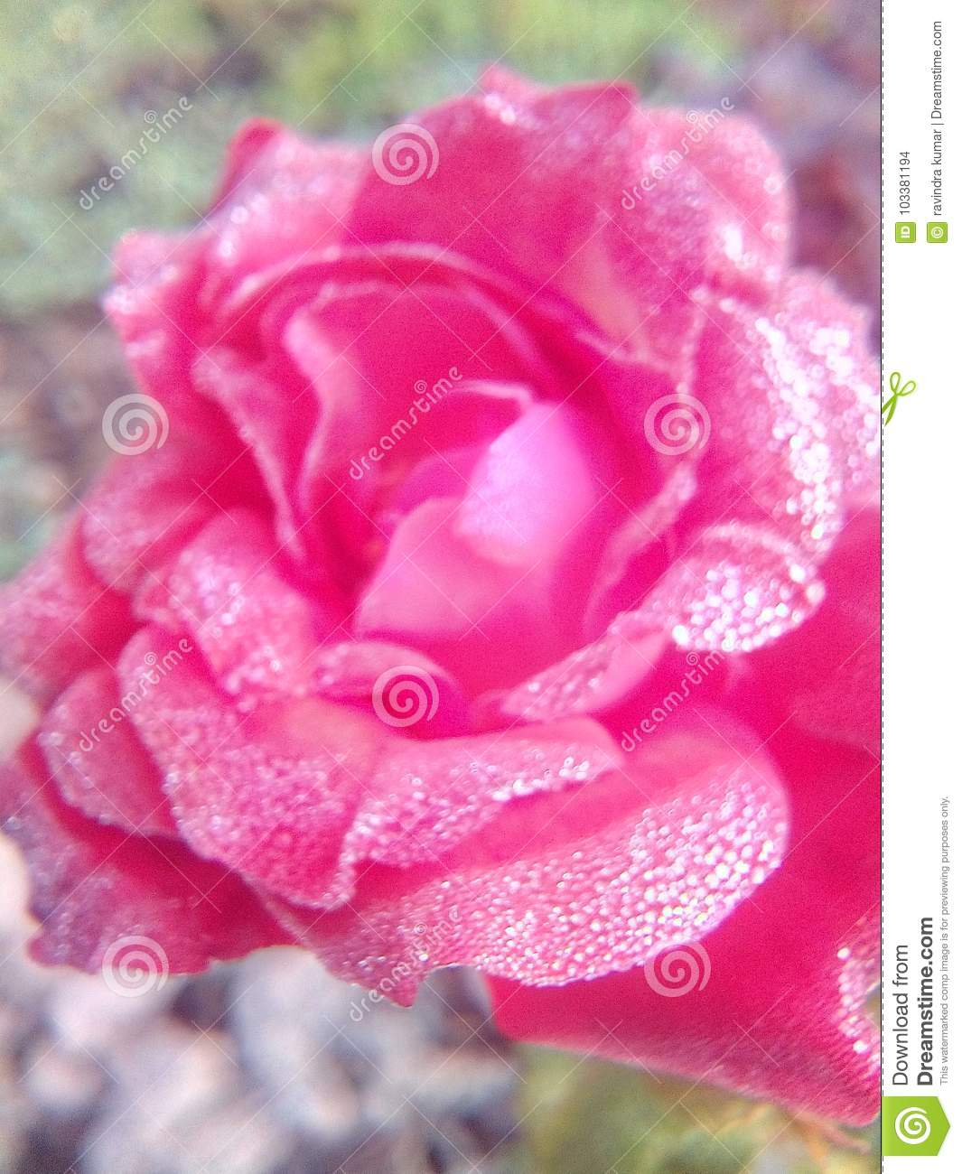 Rose flowers very good beautiful nice romantic love lovely colors royalty free stock photo download rose flowers very good beautiful izmirmasajfo