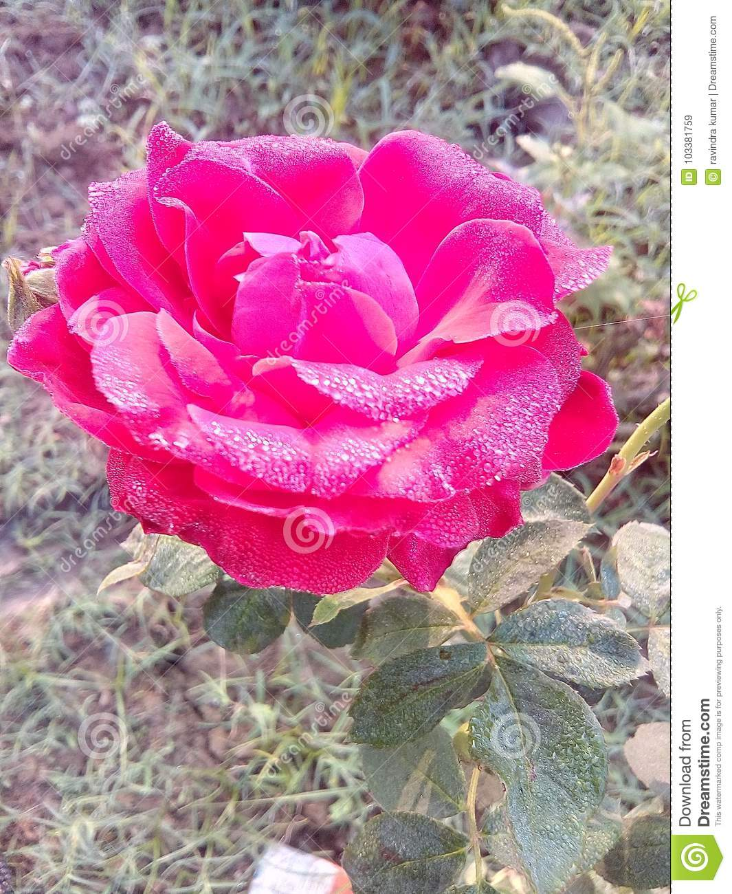 Rose flowers very good beautiful nice romantic love lovely colors royalty free stock photo download rose flowers very good izmirmasajfo