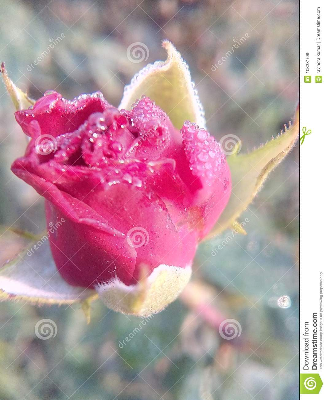 Rose flowers very good beautiful nice romantic love lovely colors download comp izmirmasajfo