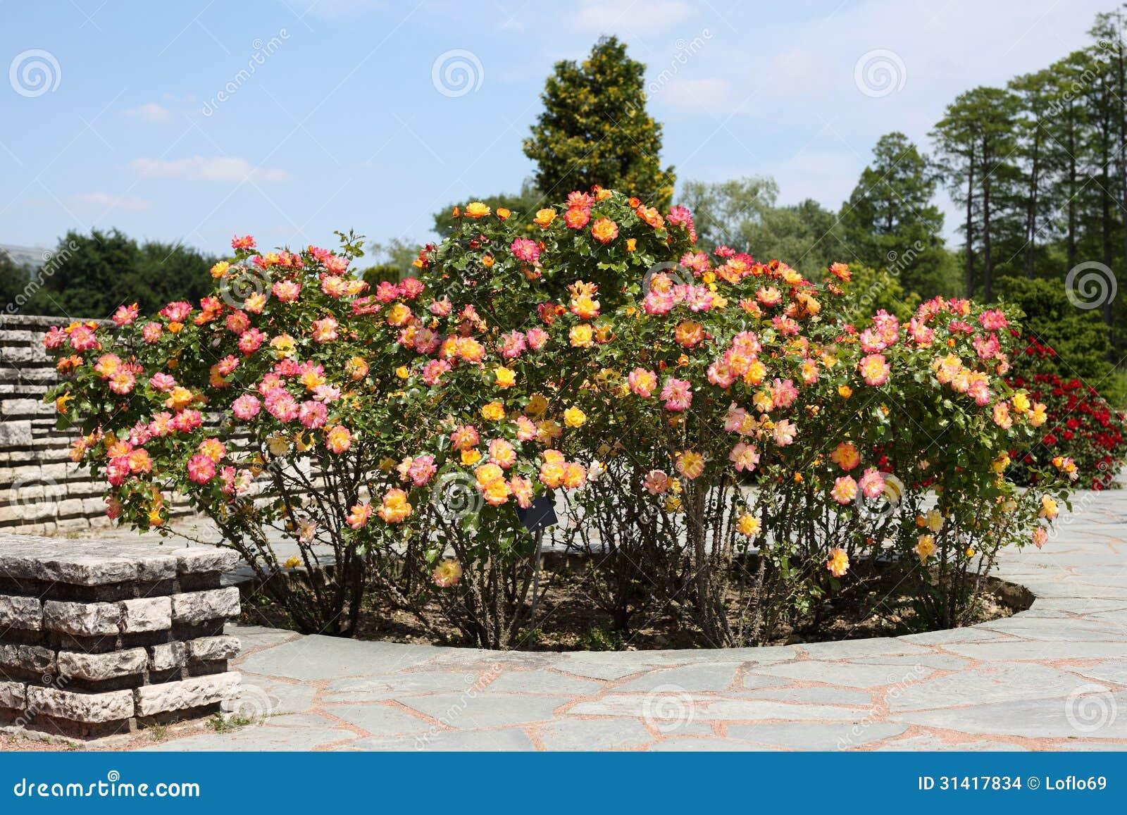 Rose garden stock photo. Image of park, golden, garden - 31417834
