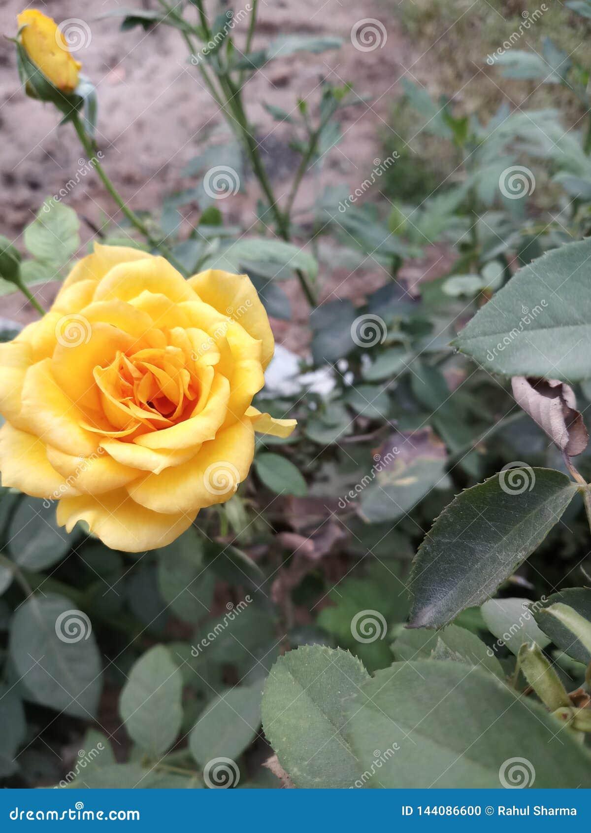 Rose In Garden gialla