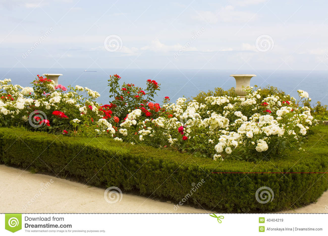 - rose garden on sea coast, blue water, shrubs with red and white ...