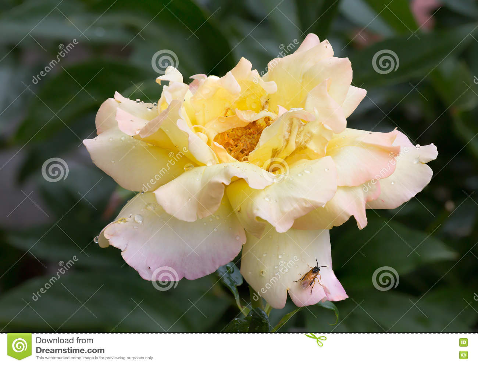 rose gloria day stock image image of gardening pink. Black Bedroom Furniture Sets. Home Design Ideas