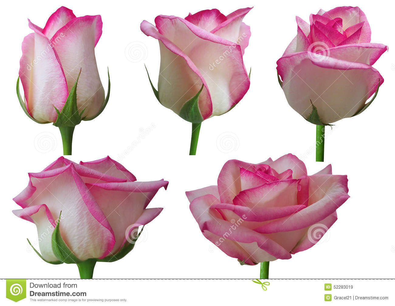 Rose Growth Stages Stock Photo - Image: 52283019