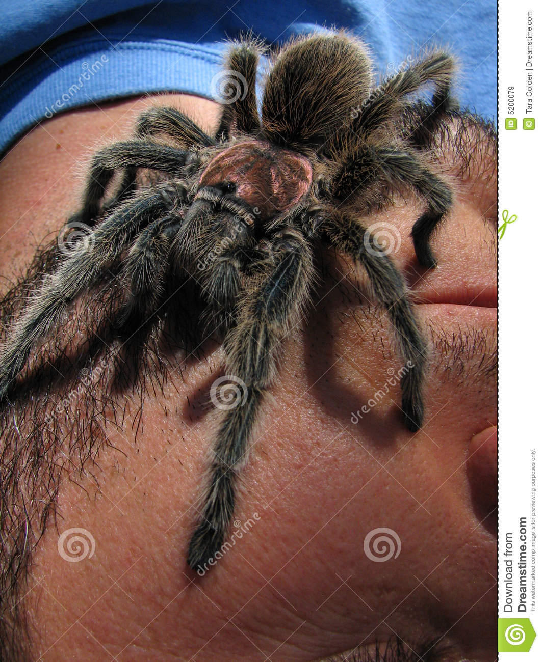 Rose Hair Tarantula On Face Stock Image Image Of Bite Insect 5200079