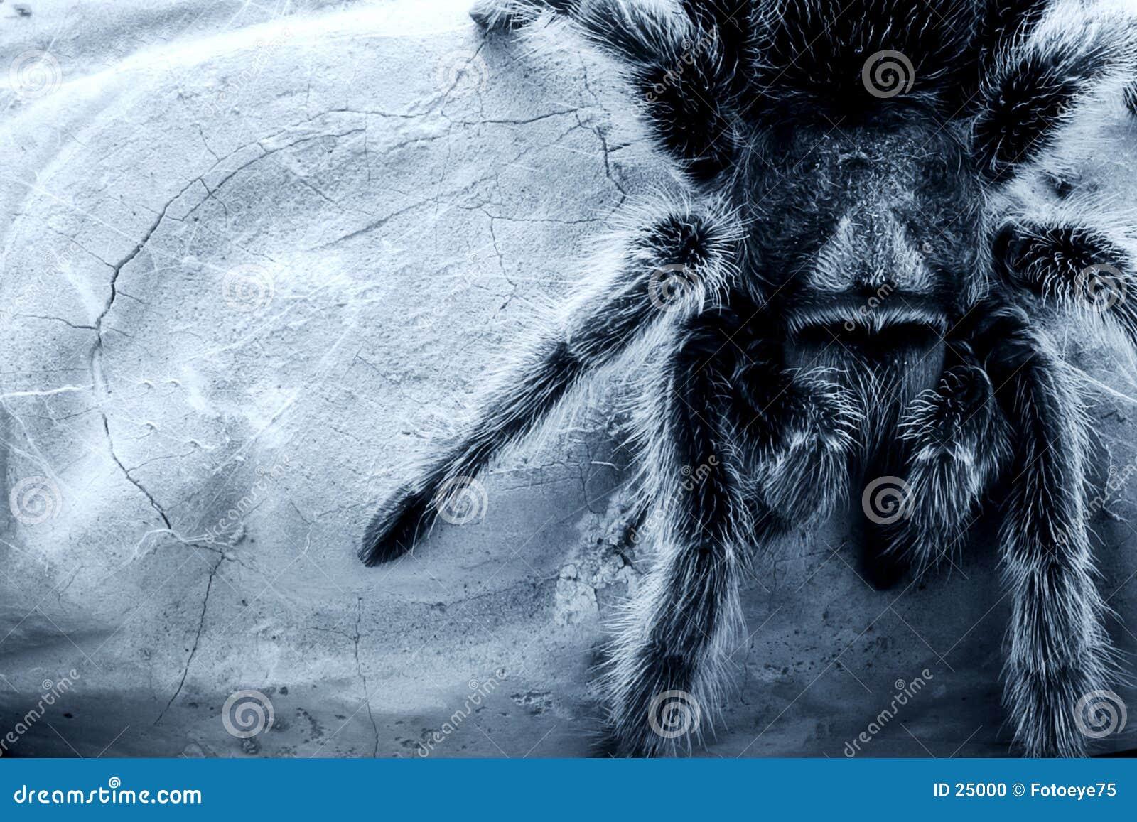 Rose-hair tarantula spider