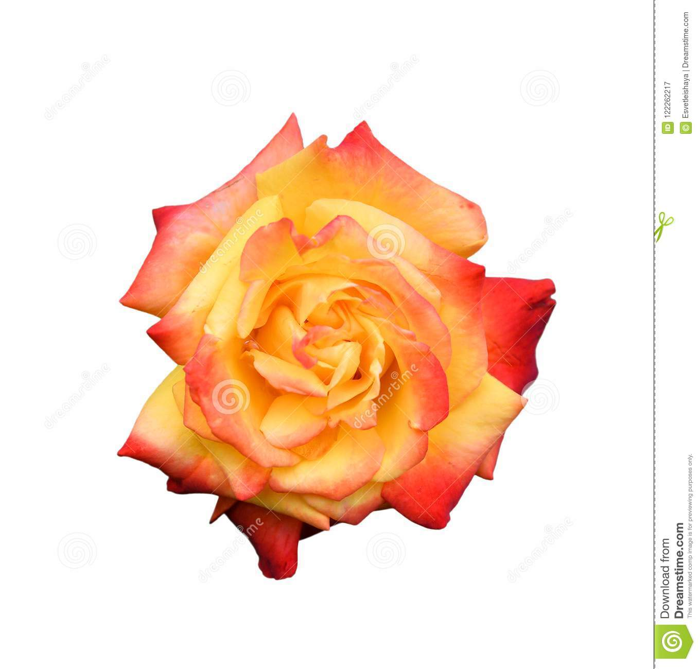 Rose head close up isolated on white background. Pink and orange rose flower on white background