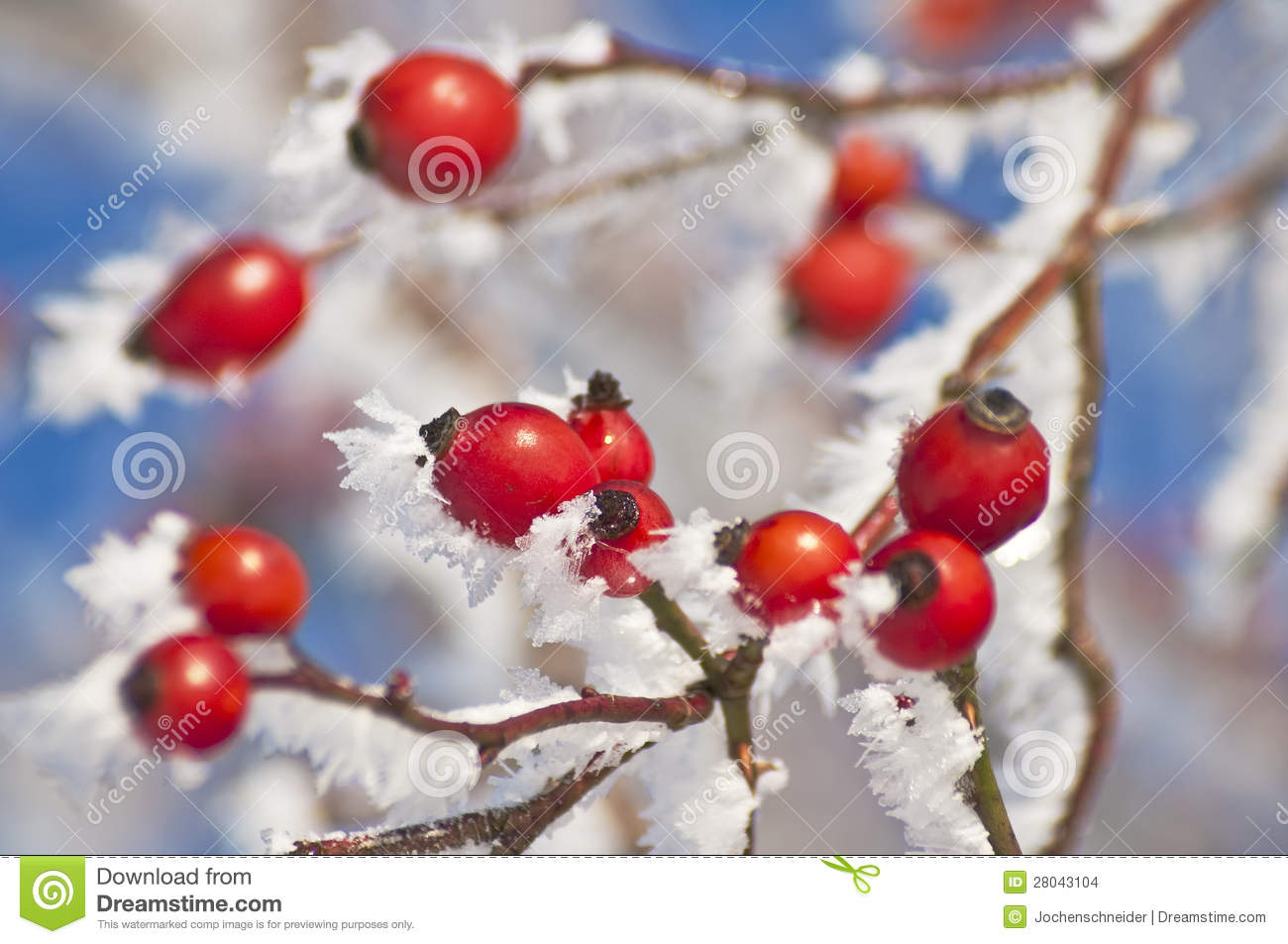 Rose hip with ice crystals