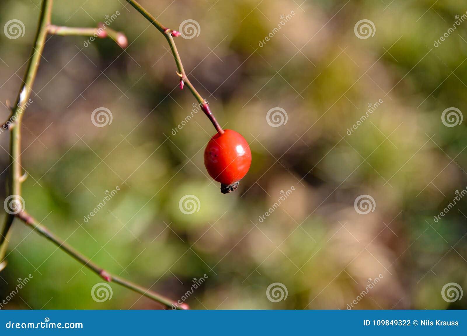 Rose Hip sola roja en una sola rama