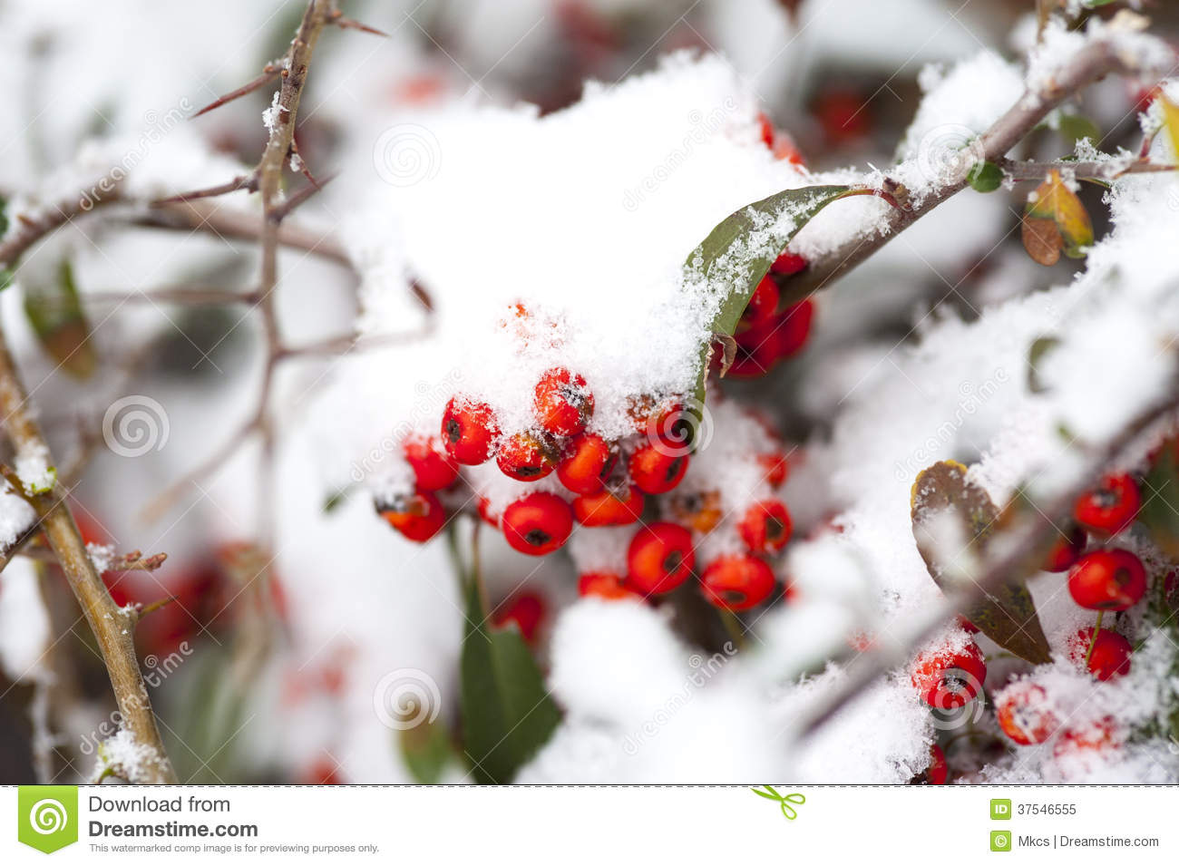 Rose hips in the white snow