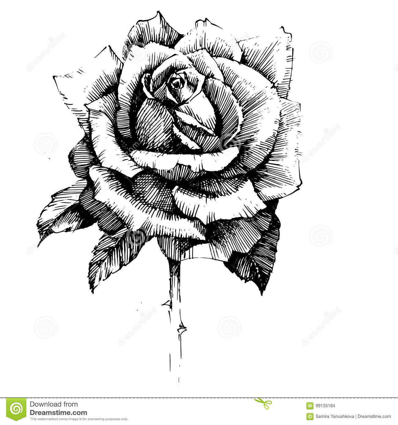 Rose Ink Drawing Flowers Stock Vector Illustration Of Drawing 99135184