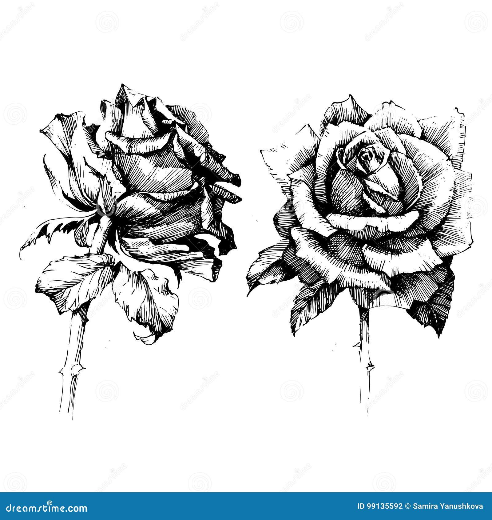 Rose Ink Tekeningsbloemen Vector Illustratie Illustratie Bestaande