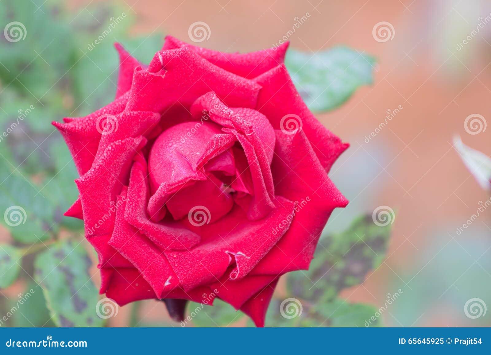 Rose intelligente de floraison