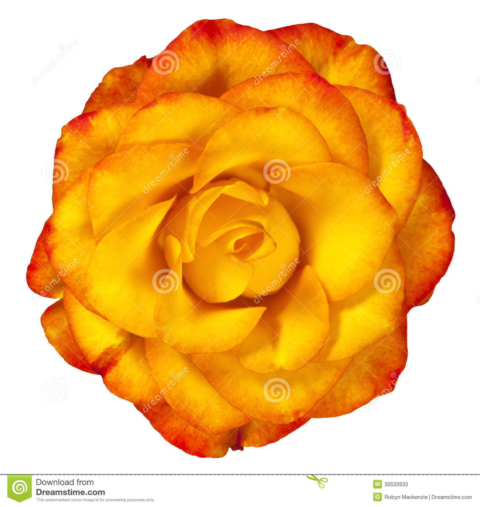 Rose Isolated jaune rougeâtre sur le blanc