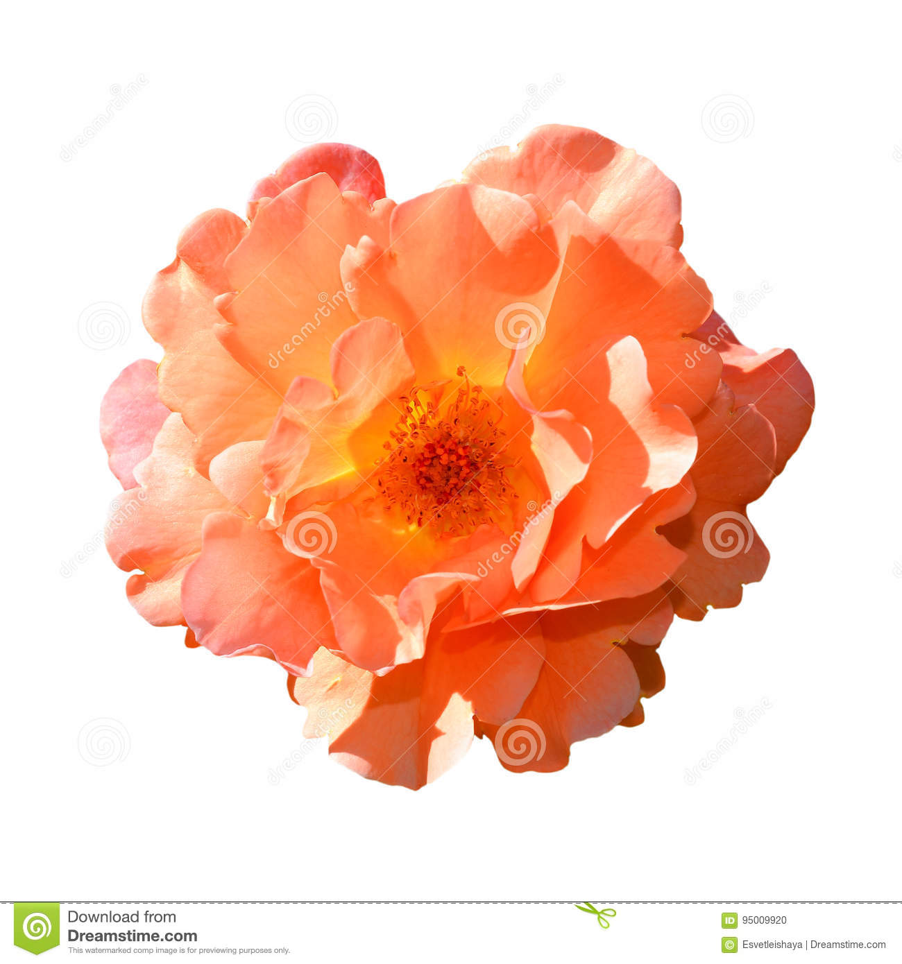 Rose isolated on white background. Fully open gentle pink rose flower head isolated on white background.