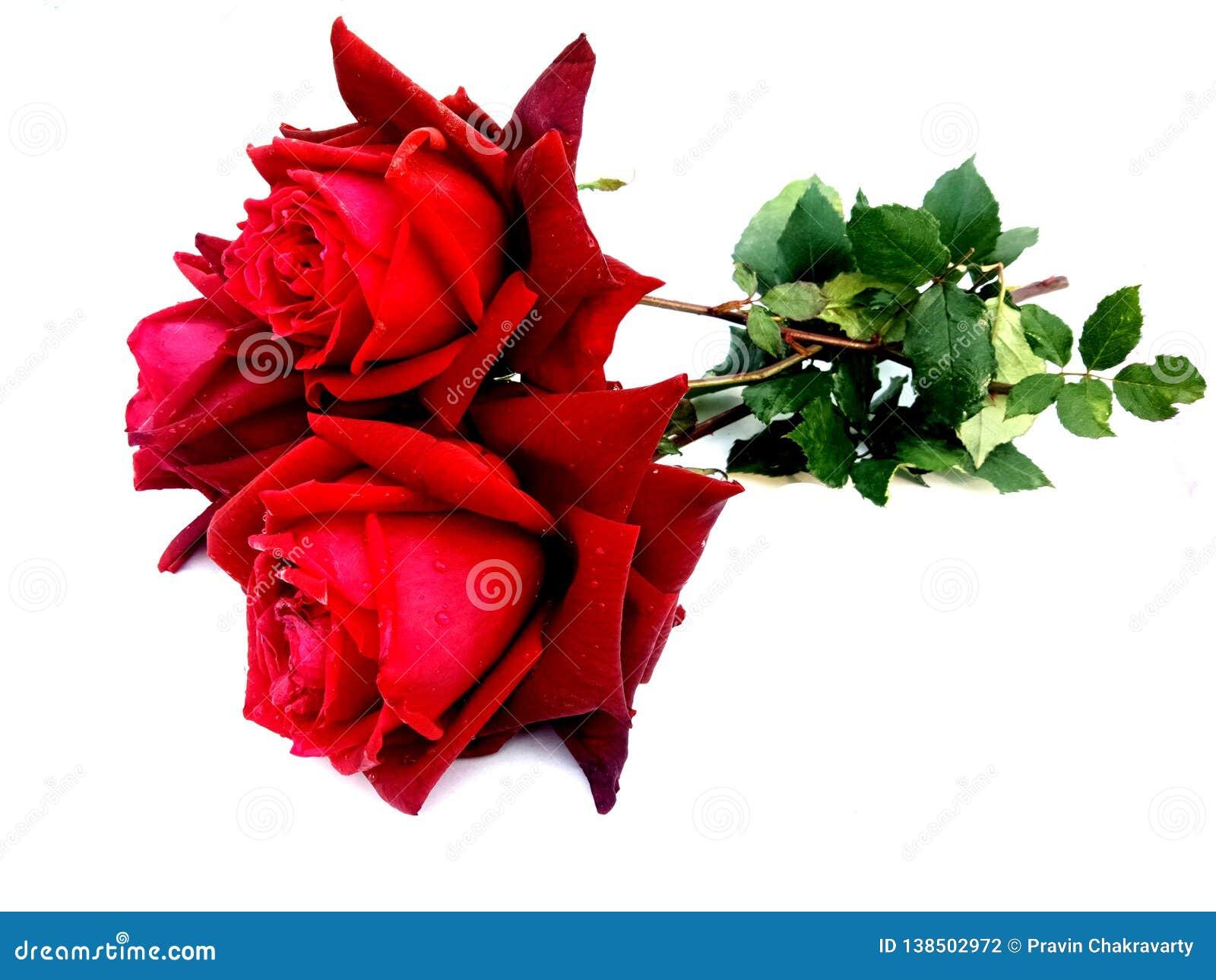 Rose Rose Isolated On White Background Stock Photo Image Of Element Stem 138502972