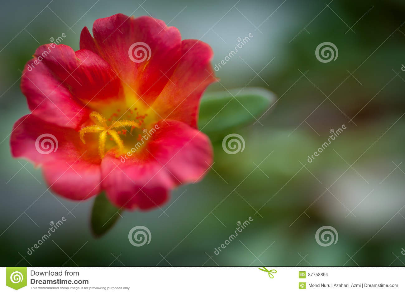 Rose japonesa