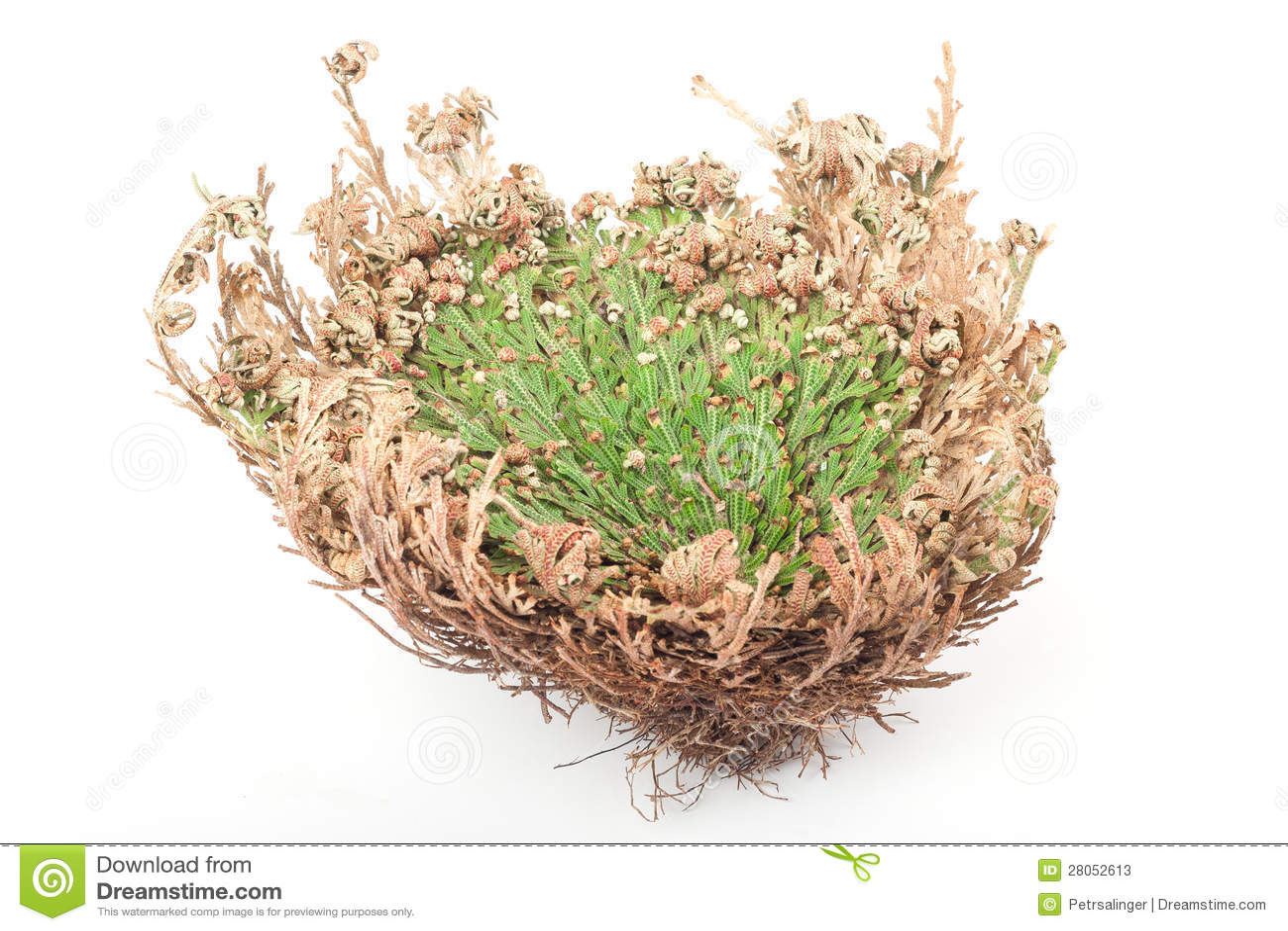 rose of jericho stock image image of dried curing botany 28052613. Black Bedroom Furniture Sets. Home Design Ideas