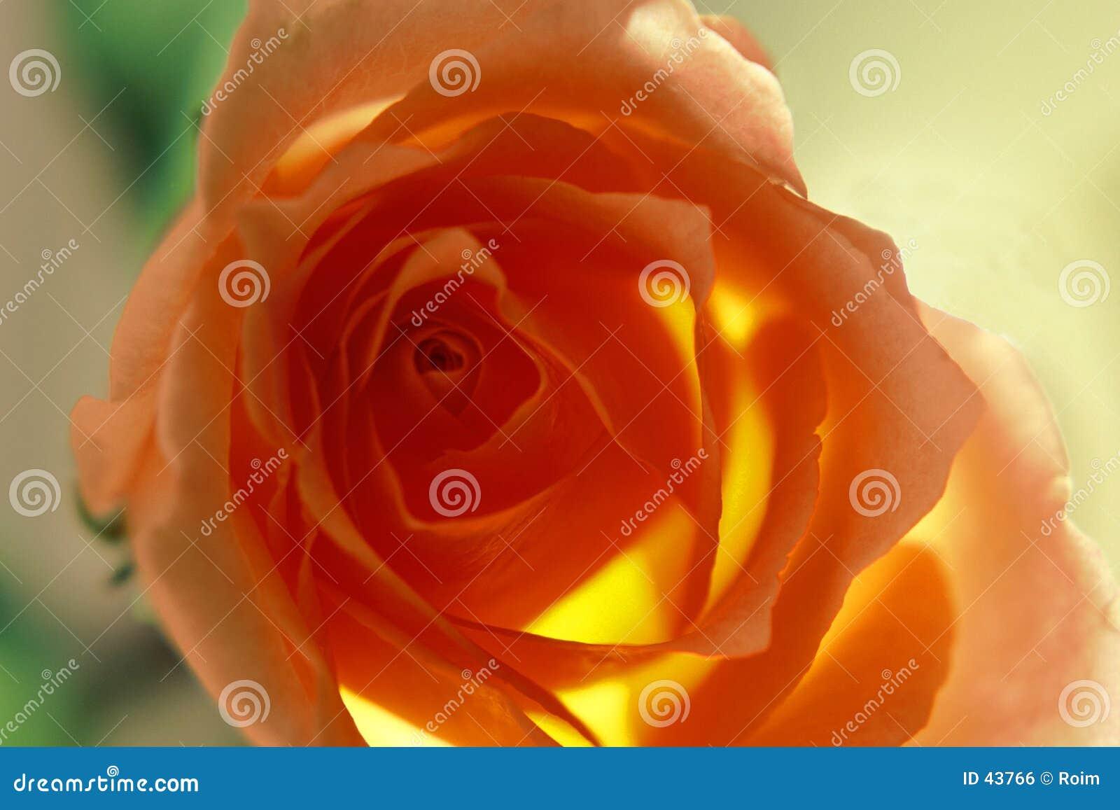 Download Rose kolorowego salmon zdjęcie stock. Obraz złożonej z kwiat - 43766