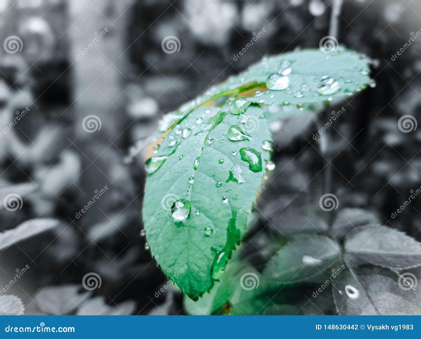 Rose Leaf In Watter Drops