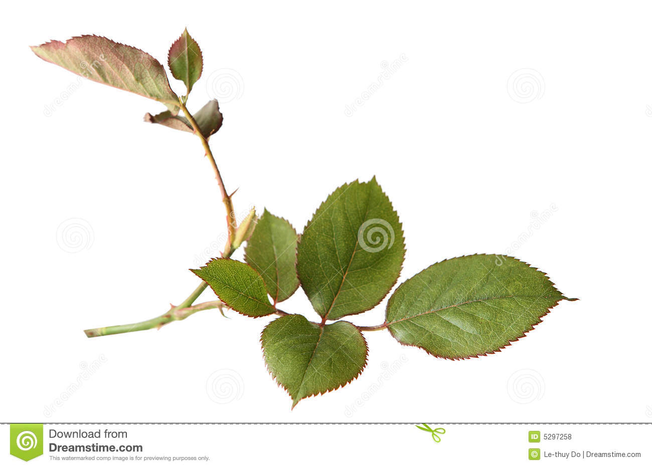 rose leaves royalty free stock photos   image 5297258