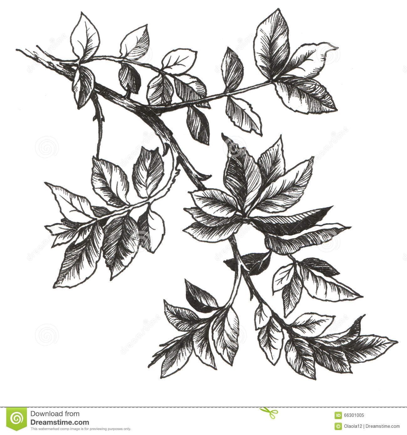 Flower Leaf Line Drawing : Rose leaves stock illustration of elegant
