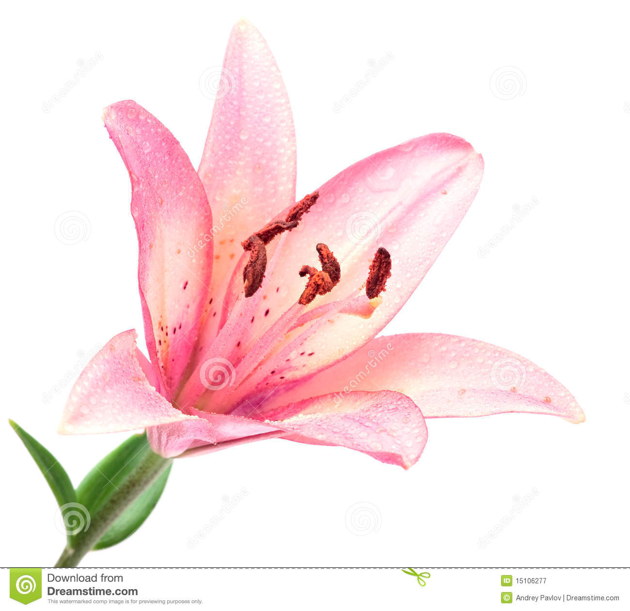 Rose lilly d isolement