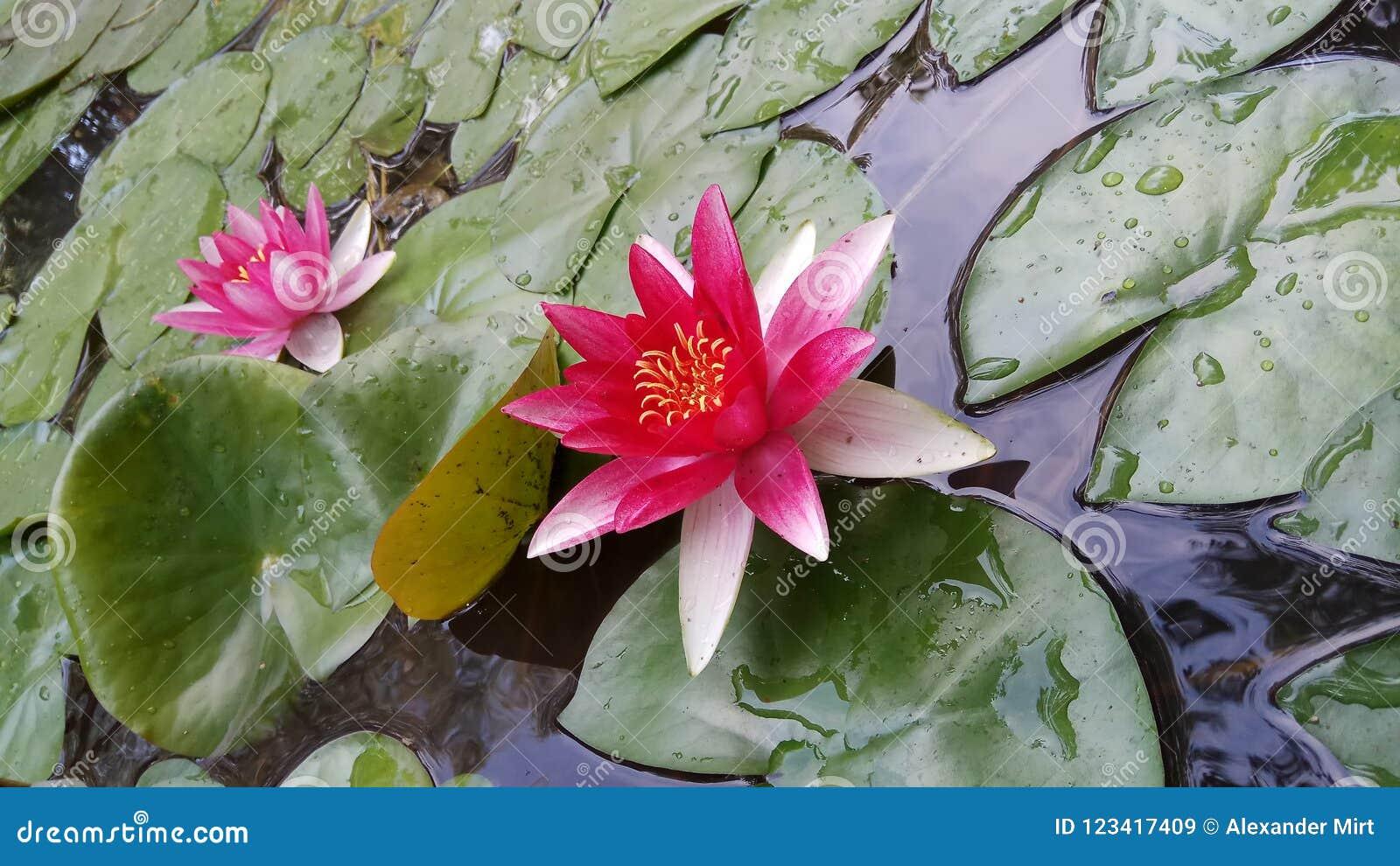 Rose Lotus-bloemen in tuinmeer
