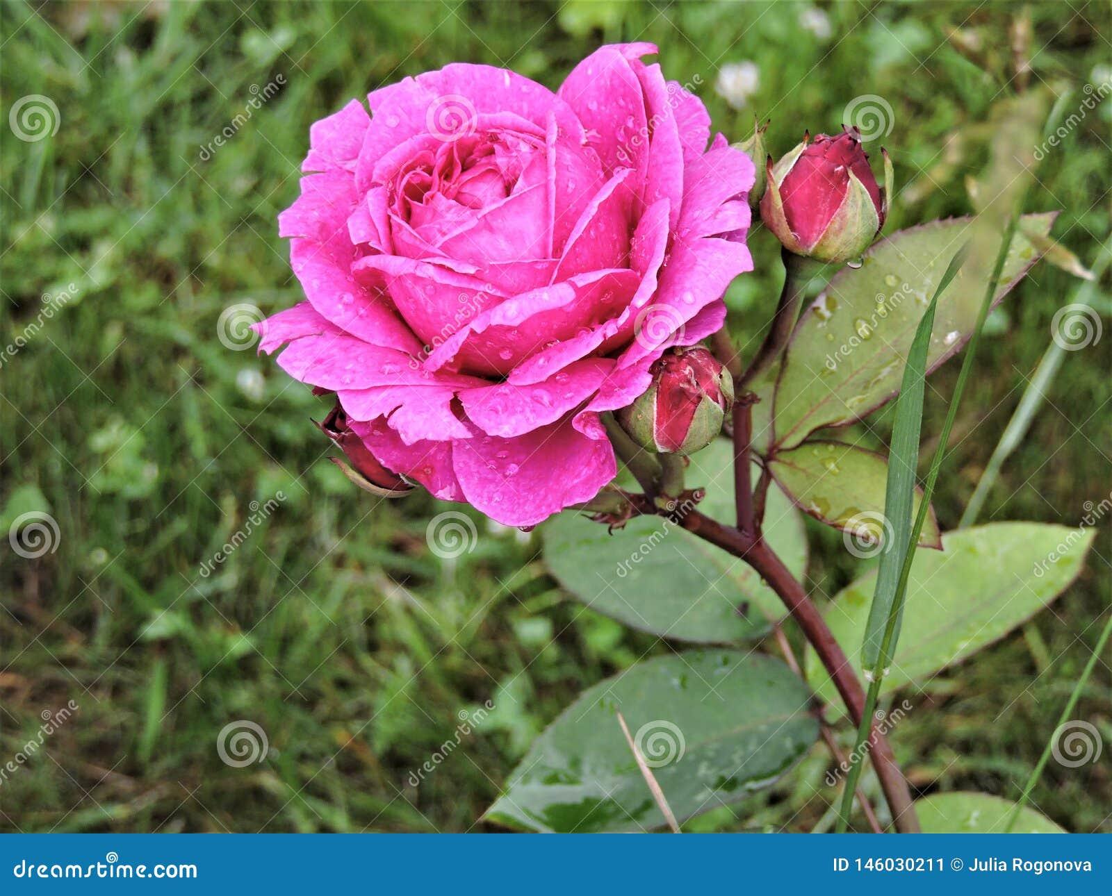 Rose rose lumineuse après pluie en parc d été de Moscou