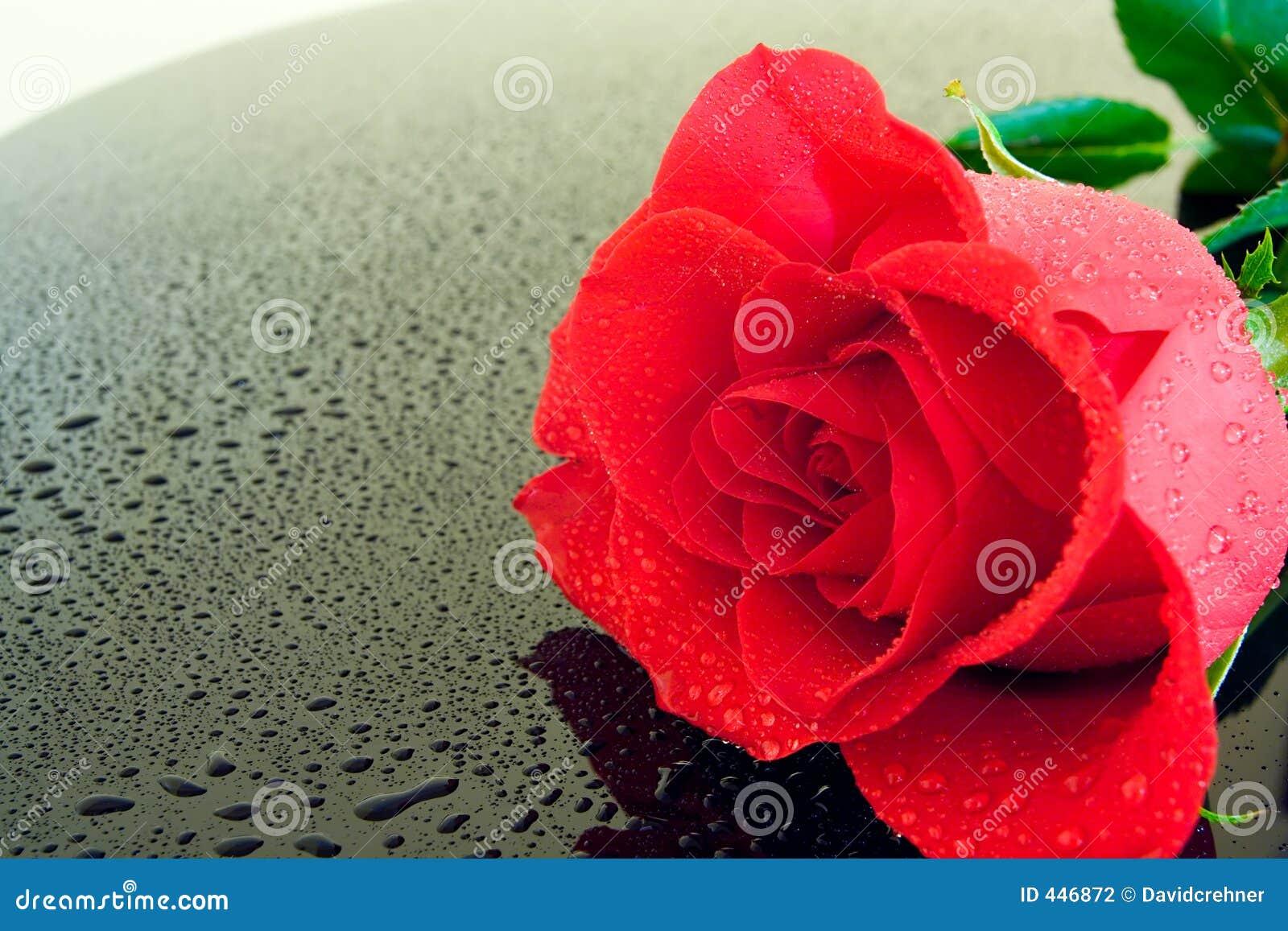 Rose mokre