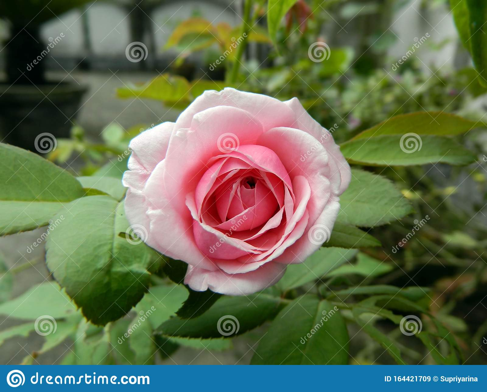 Rose Is The Most Beautiful Flower And Adored By Everyone In The World Stock Image Image Of Green Grow 164421709,2 Bedroom Apartments For Rent In Brooklyn Under 1400