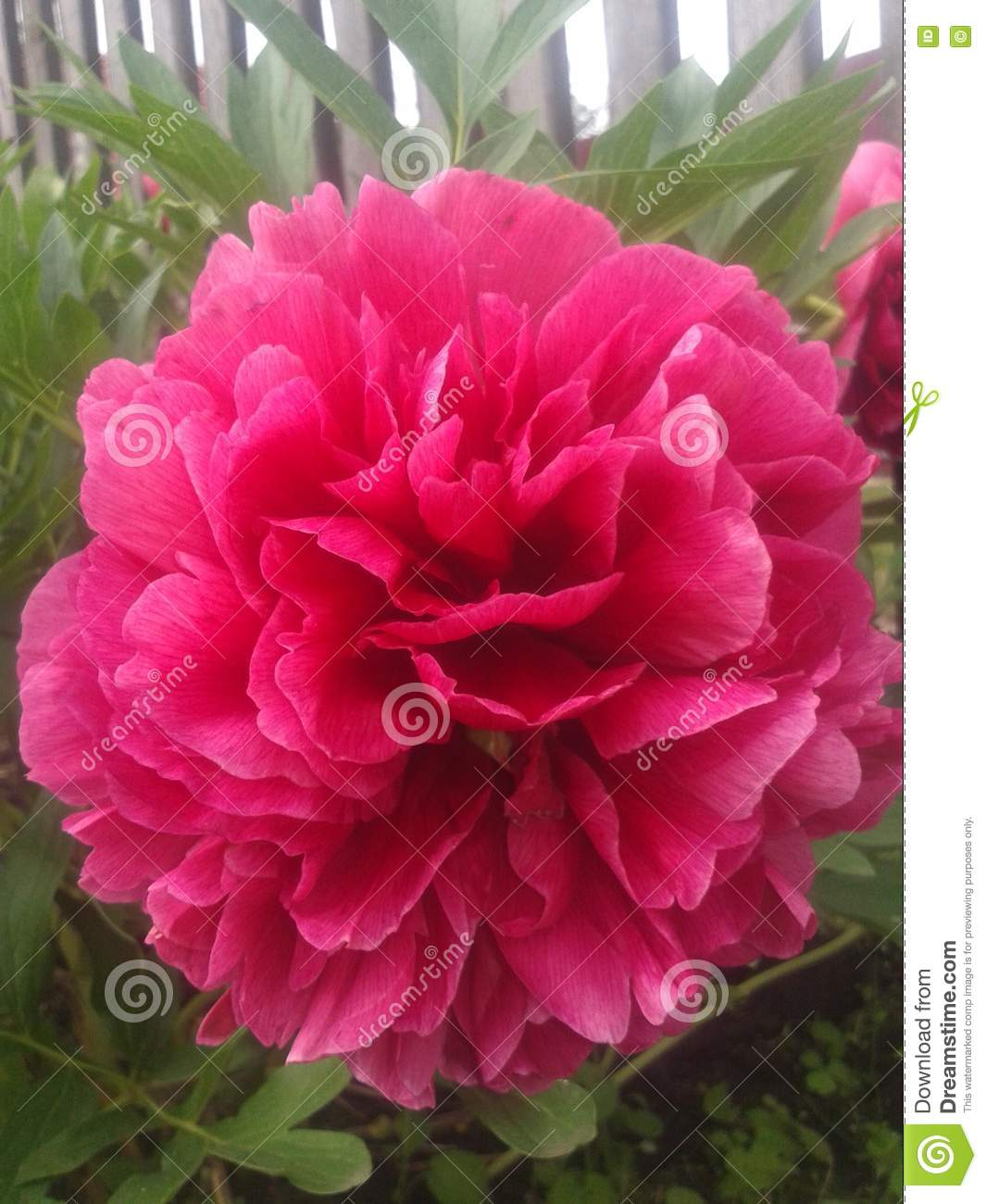 Peony flowers stock image image of world most fauna 72858157 the most beautiful flower in the world izmirmasajfo