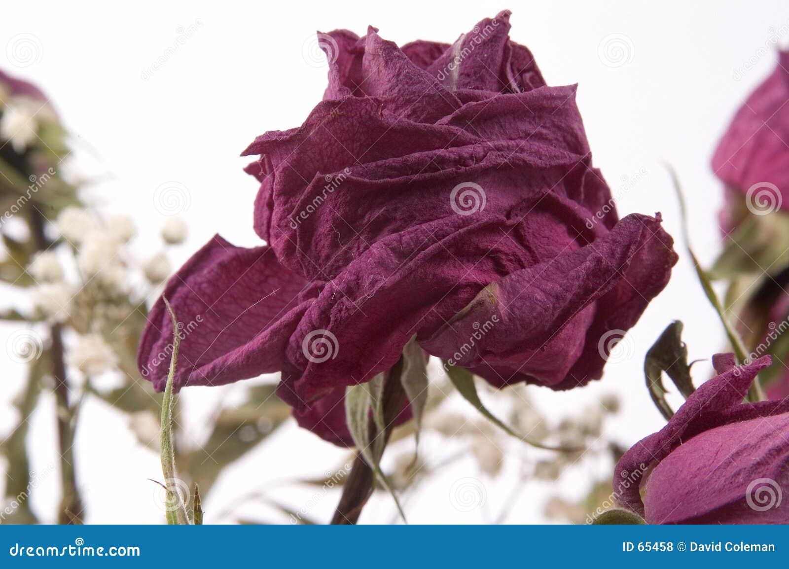 Rose muerta