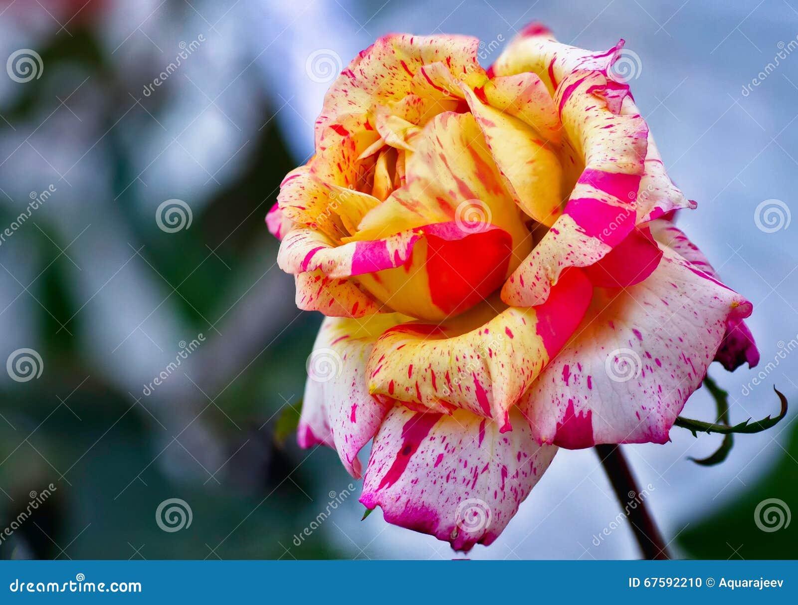 Rose Multicolore Photo Stock Image Du Parfum Multi 67592210