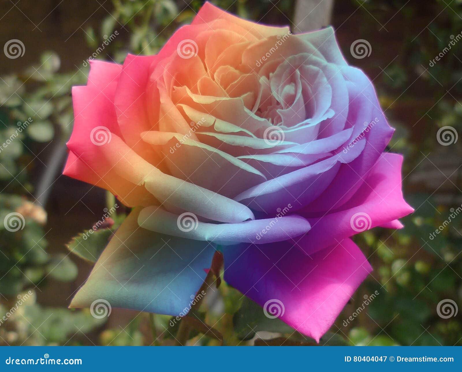 Rose Multicolore Image Stock Image Du Ressort Gentil 80404047