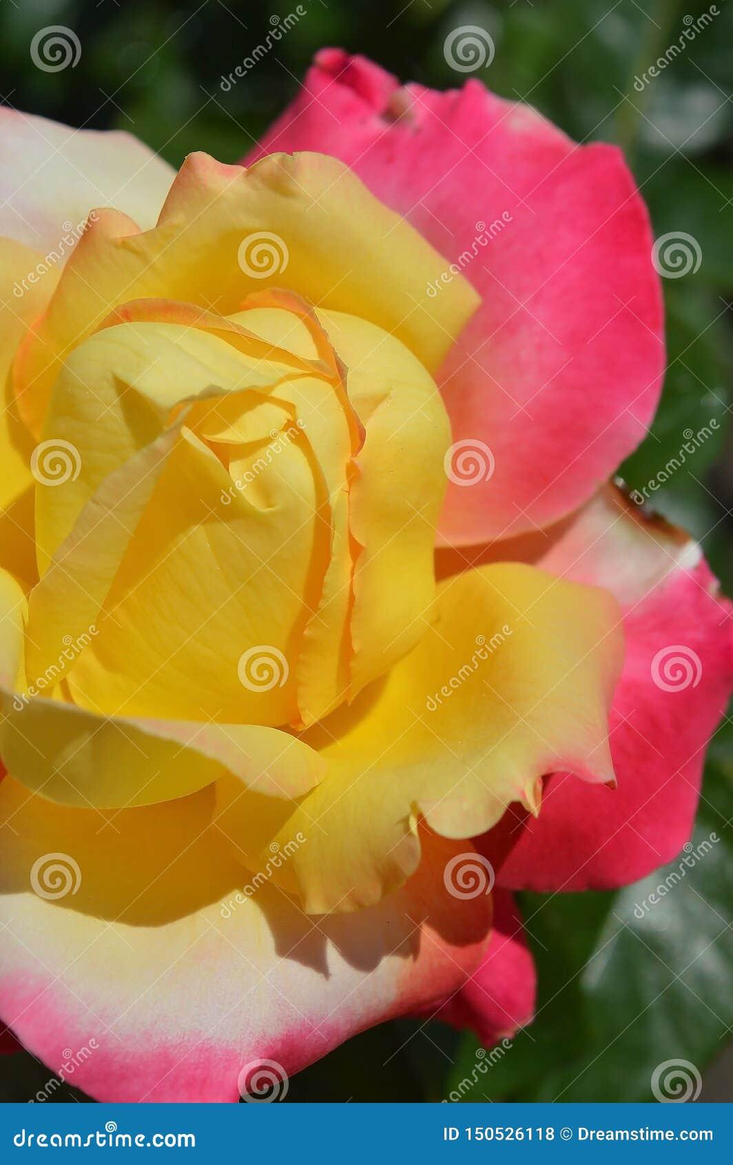 Rose multicolore magnifique Jaune, blanc et rose
