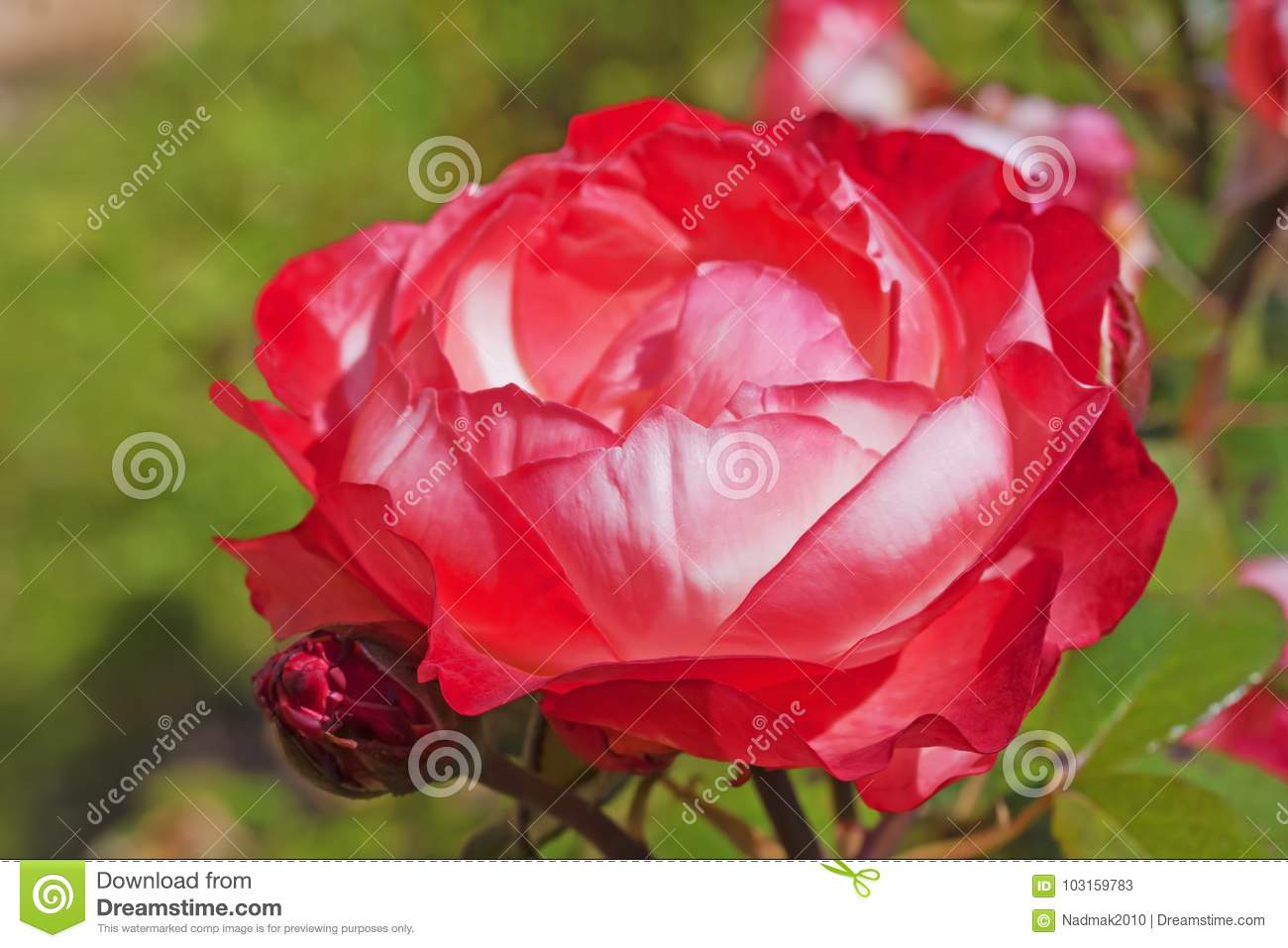 Rose `Nostalgie` With Red To White Petals In Garden Close-up Stock ...