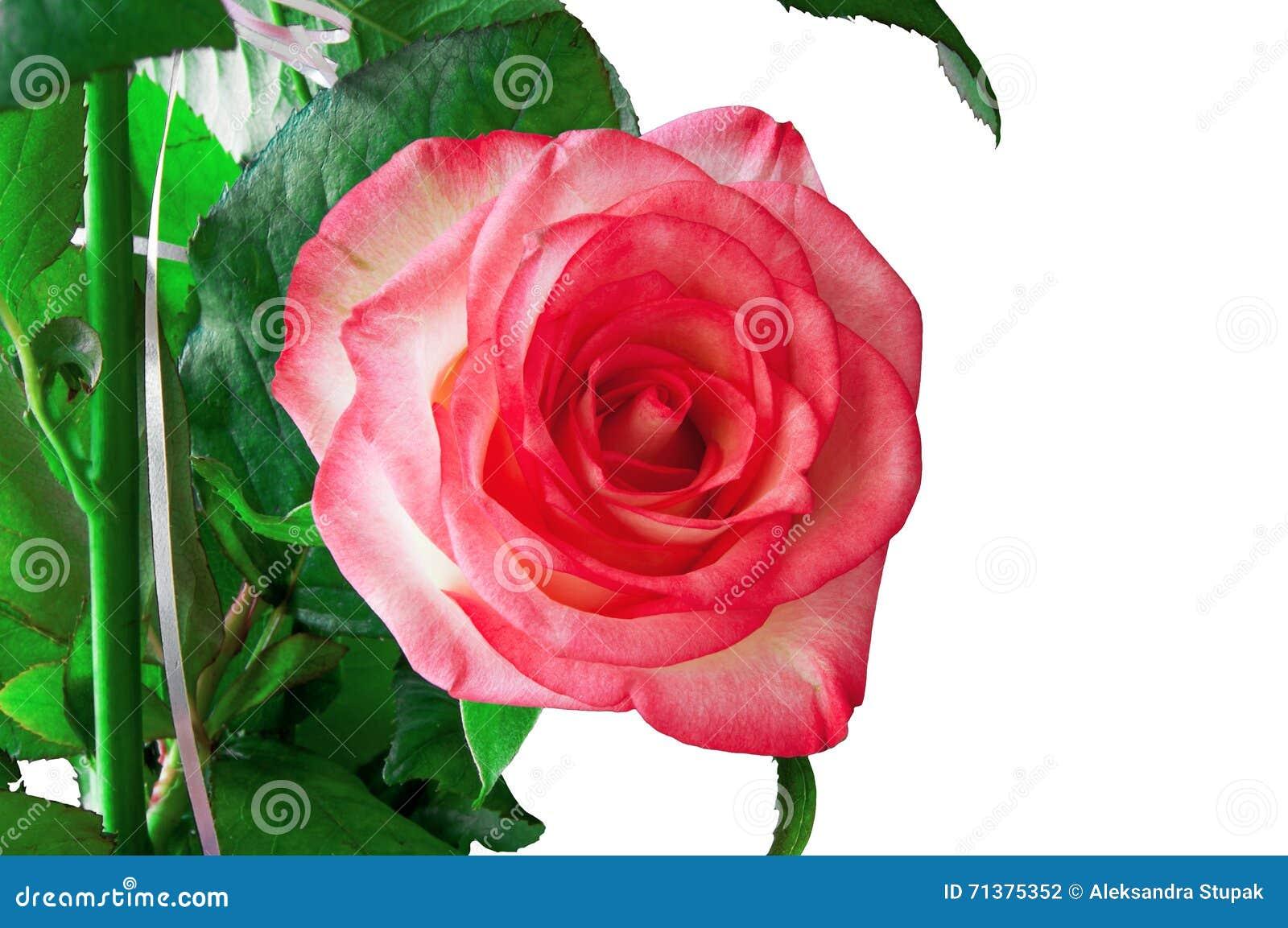 Rose odosobnione white