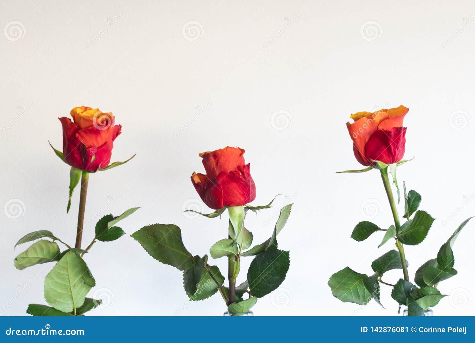 Rose orange rouge dans la bouteille, sur le fond blanc
