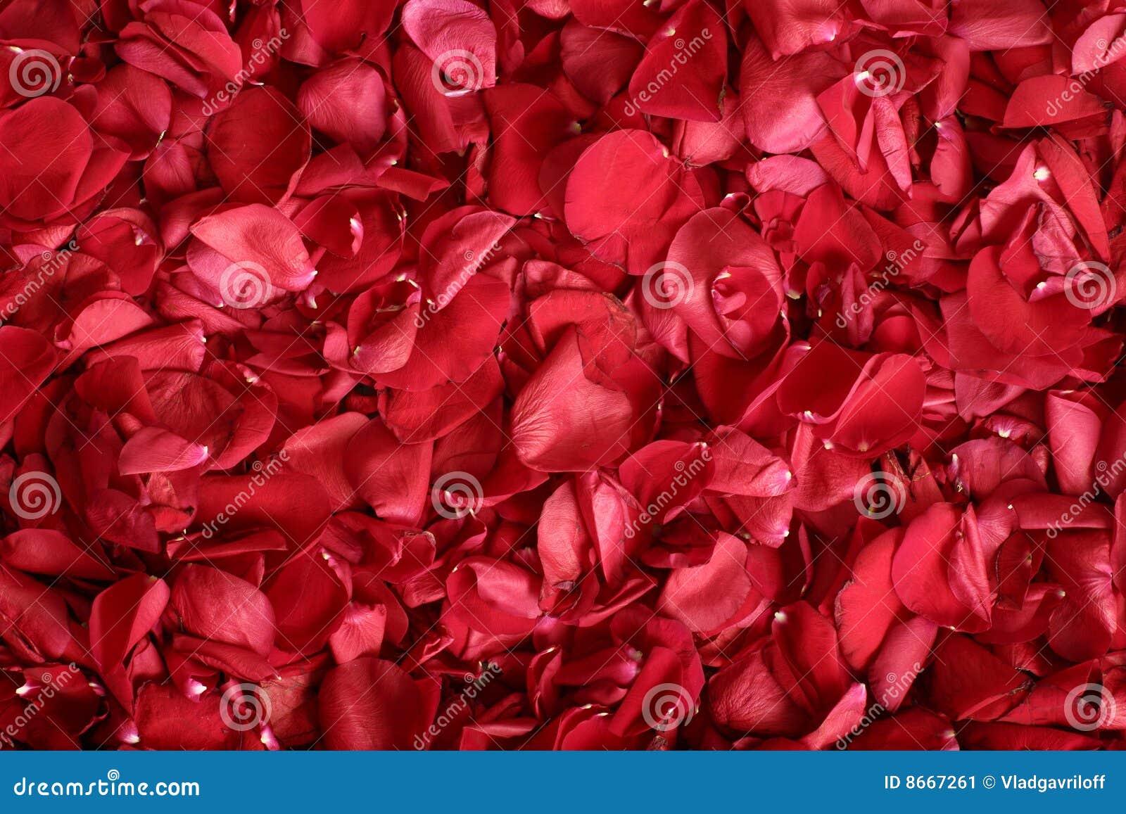 Rose-pétales
