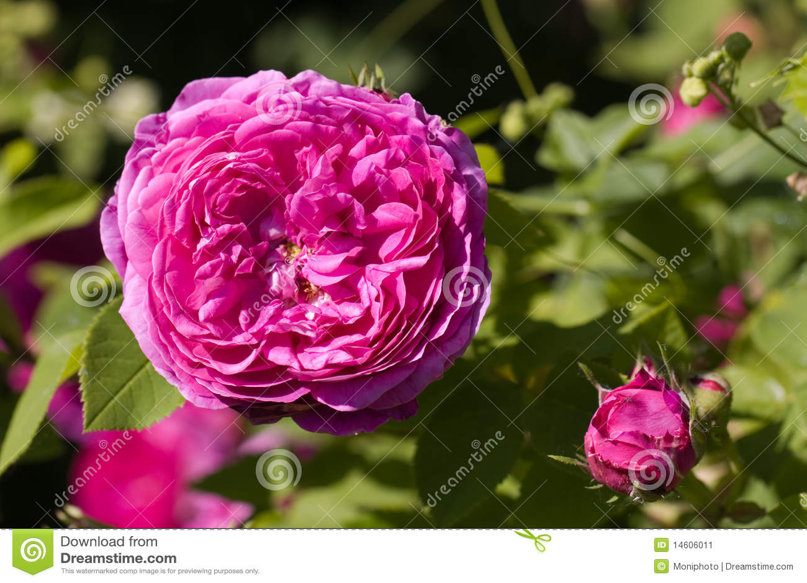 A Rose Perennial Flower Shrub Vine Of Genus Rosa Stock Image