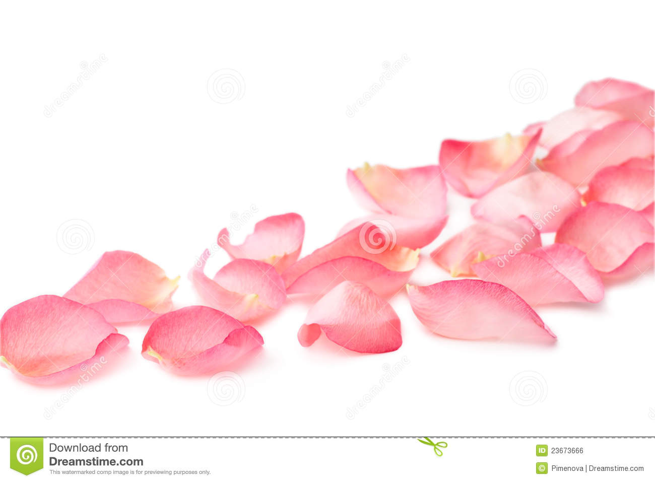 Pink rose petals on white background.