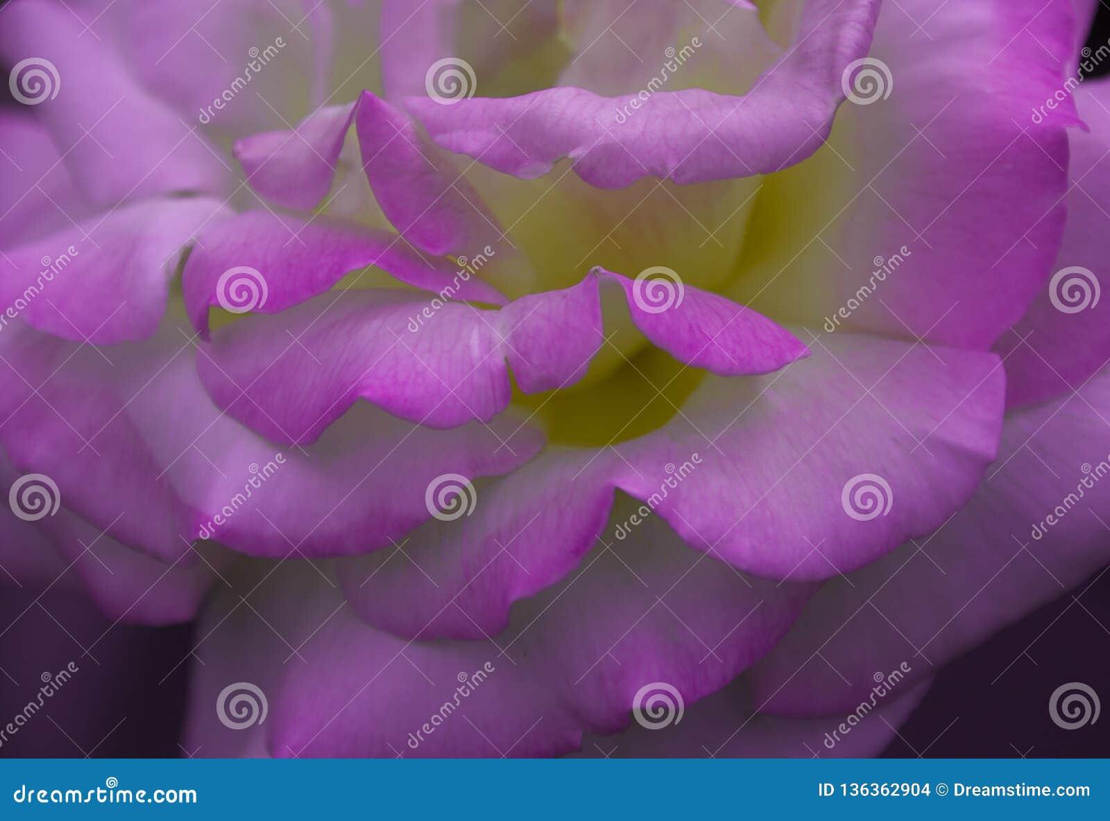 Rose petals texture