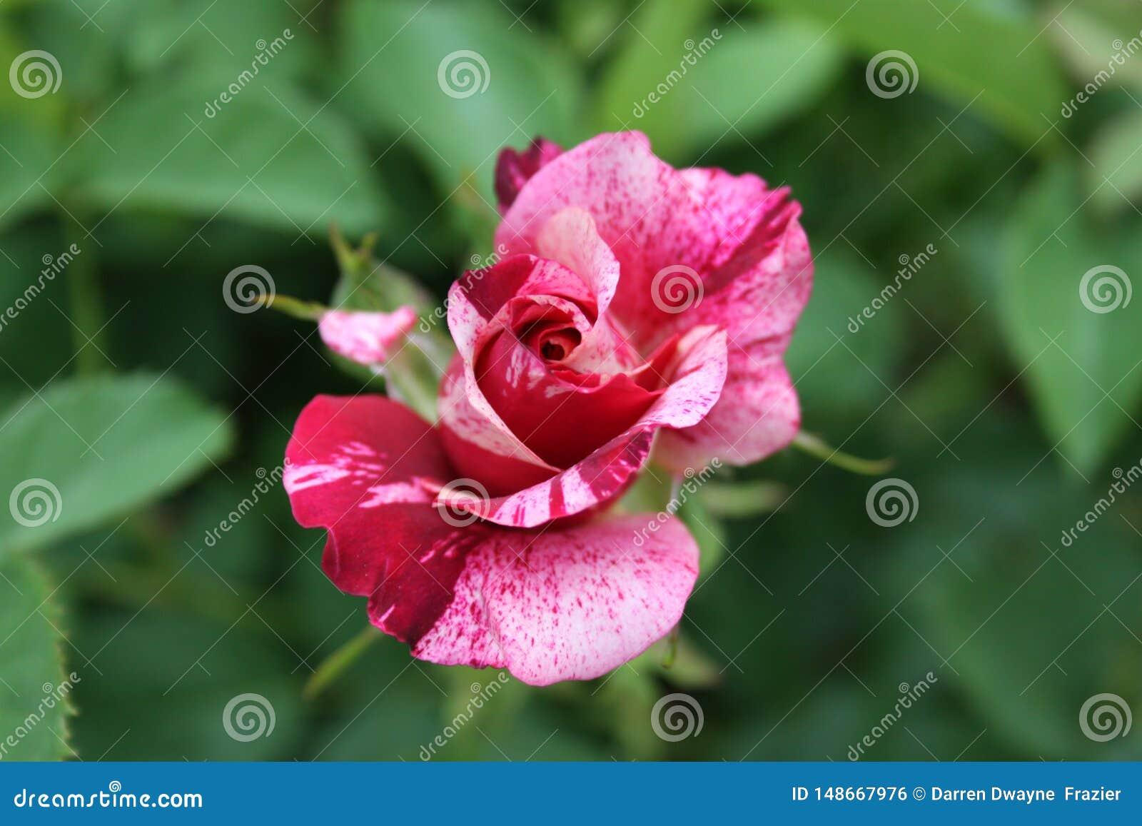 Rose Petals vari?e 2019