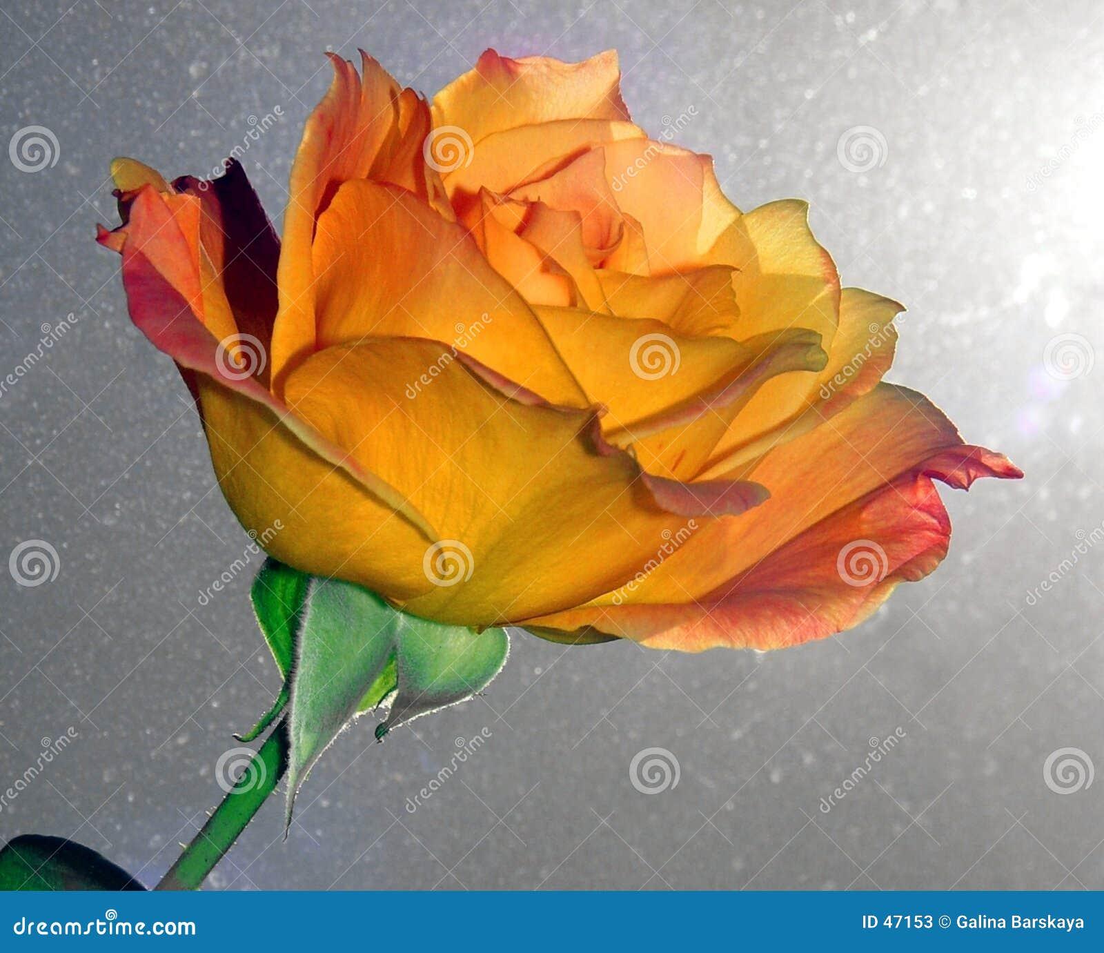 Rose piękna