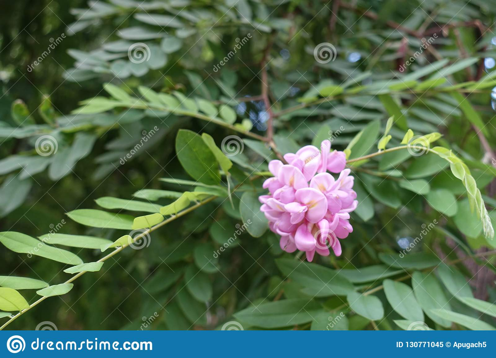Rose Pink Flowers Of Robinia Hispida Borne In Panicle Stock Image