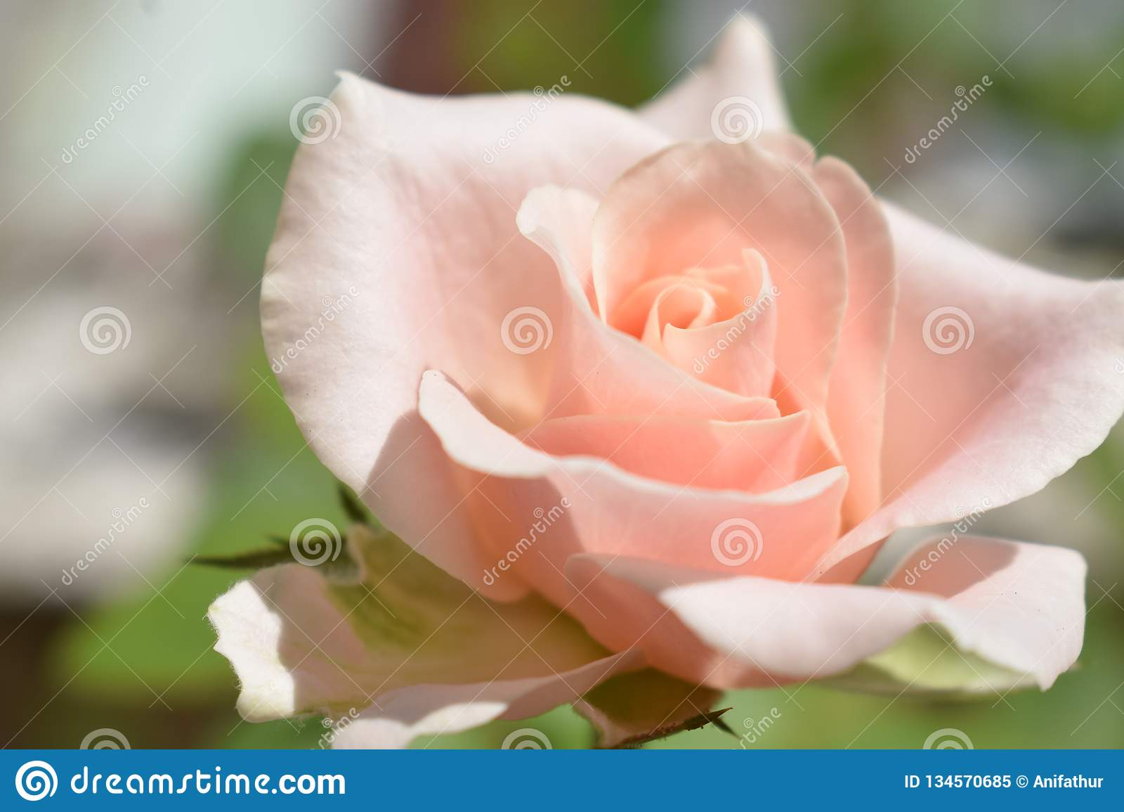 Rose Pink Rose Nature Flowers Blur Background Beauty Flowers Beautiful Nature Wallpaper Stock Image Image Of Beautiful Background 134570685
